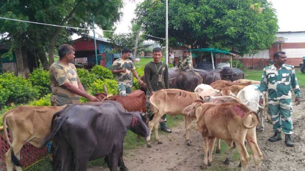 Indian cattle smugglers nabbed by BSF along Indo-Bangladesh border