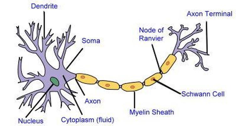 2D labelled diagram  Nerve cell