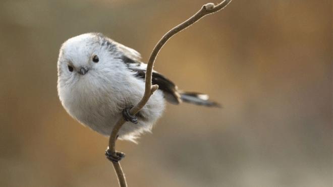 Een witkopstaartmees op een tak