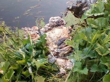 В Самарской области в реке Кинель обнаружены останки баранов
