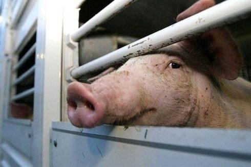 Африканской чумы свиней в Тольятти нет