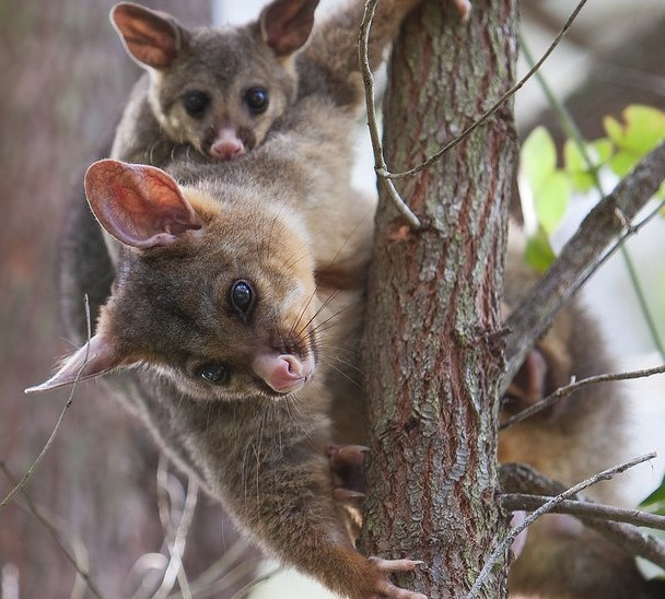 Track Australia's possums and gliders with the Urban Wildlife App