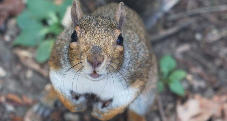 A Squirrel looking directly into the camera