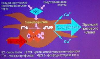 Как действуют Ингибиторы фосфодиэстеразы 5