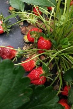 pick-your-own-strawberries