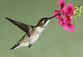 Feed Your Hummingbirds 1