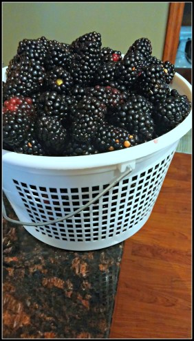 blackberry picking basket