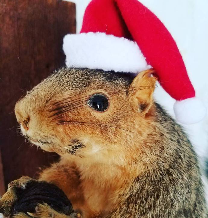 Squirrel goal achieved Dr Earl Nuttirico vintagetaxidermy santasquirrel squirrel festivehellip