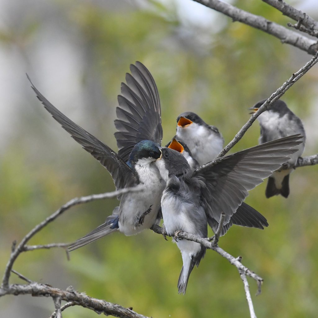 Young tree swallows fed by parent, by John Olson