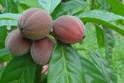 Découverte : Un fruit qui détruit le cancer en quelques minutes
