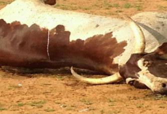 Markoye : Hécatombe d'animaux probablement intoxiqués par le cyanure
