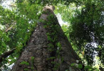 Découvrez l'arbre le plus haut d'Afrique