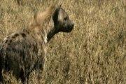 Pour devenir riche, Il se fait dévorer le pénis pas une hyène...  Facebook