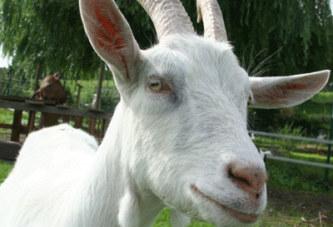 Insolite : la police nigérianne arrête une chèvre !!!