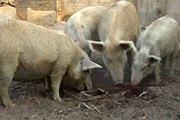 Fada N'Gourma : des porcs dévorent le corps sans vie d'un nouveau-né