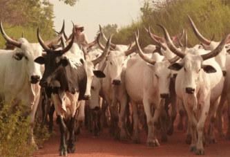 Burkina Faso – Gadiouga (Djibo) : des hommes armés non identifiés emportent plus de 200 bœufs