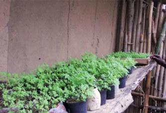 Santé: Une plante médicinale pourrait éradiquer le paludisme en Afrique