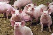 Epidémie de la grippe porcine au Ghana