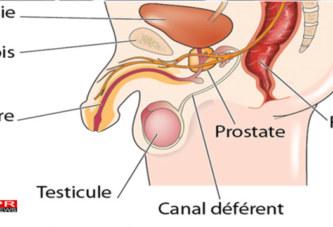 Santé: A quoi sert la prostate ?