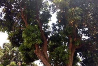 Côte d'Ivoire: Un élève décède après une chute d'un manguier à Ferkessédougou