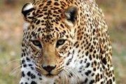 En Namibie, un touriste allemand se fait scalper par un léopard