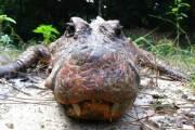 Des crocodiles oranges uniques au monde au Gabon