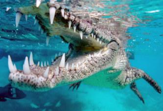 Australie : Un énorme crocodile de 600 kilogrammes et 4,7 mètres de long capturé après 8 ans de traque