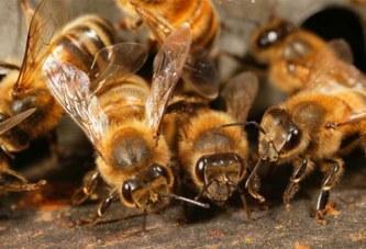 Côte d'Ivoire – Dabou: Un planteur tué par des abeilles