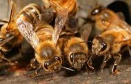 Côte d'Ivoire - Dabou: Un planteur tué par des abeilles