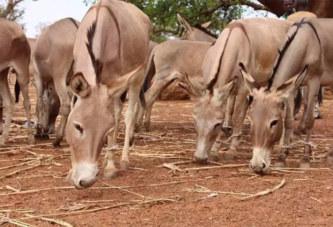 Burkina Faso: Les ânes et les chevaux touchés par une maladie entraînant de fortes morbidités