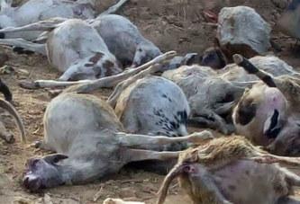 Pollution de environnement: 18 moutons périssent dans une intoxication liée au Cyanure à Gaoua