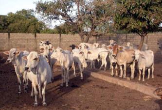 Détournement d'animaux de trait à Dédougou : un préfet et 8 autres déposés à la maison d'arrêt