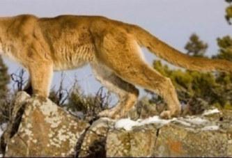 USA: À mains nues, un homme se bat contre un lion et le tue