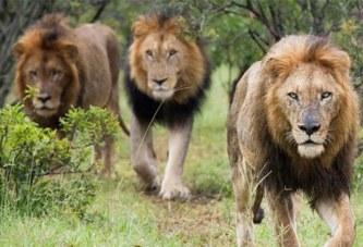 Afrique du Sud : un braconnier tué par un éléphant avant d'être dévoré par des lions