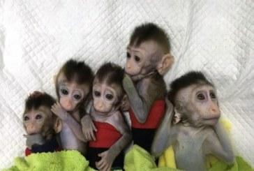 Des scientifiques chinois implantent à des singes des gènes du cerveau humain