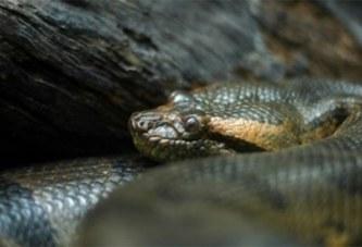 États-Unis: un anaconda femelle parvient à faire des petits sans mâle