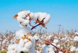 Filière coton : le gouvernement octroie une subvention de 11,331 milliard de FCFA pour l'apurement des impayés internes des producteurs