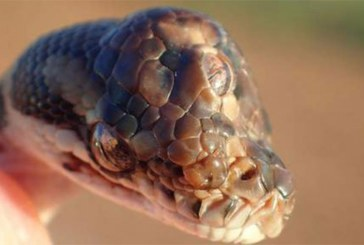 Un serpent à trois yeux découvert en Australie