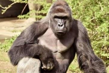 Nigeria : Un gorille « avale » près de 17 000 dollars et prend la fuite