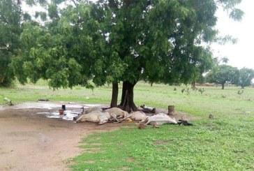 Diapaga: Un éleveur et ses 6 bœufs tués foudroyés