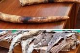 Burkina : 20 peaux de crocodiles et 2 pointes d'ivoire d'éléphants saisies