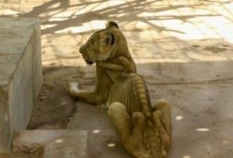 Soudan: des photos de lions faméliques déclenchent une vague de mobilisation pour les sauver