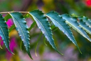 Traitement du Covid19 : la Chloroquine ne provient pas des feuilles de Neem, attention à la destruction des reins