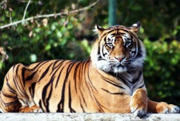 Insolite à New York : Le tigre d'un zoo infecté au coronavirus