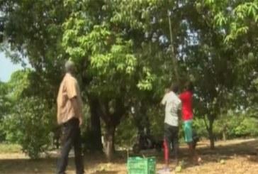 Burkina Faso: La déception gagne les producteurs de mangues au Kénédougou