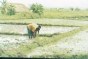Burina Faso – Riz: la Cedeao a décaissé 6 milliards de FCFA pour relancer la filière
