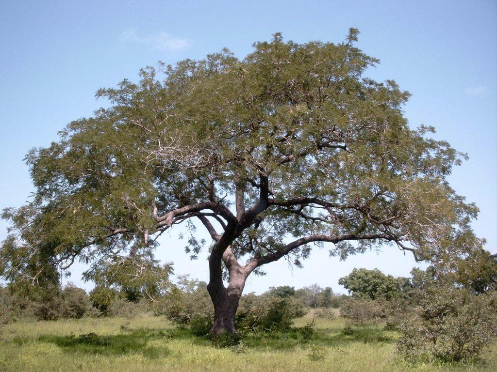 7 Healthy benefits of Locust Bean (Dawadawa)