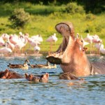 Kenyans roast Wildlife services for killing hippo at Lake Naivasha