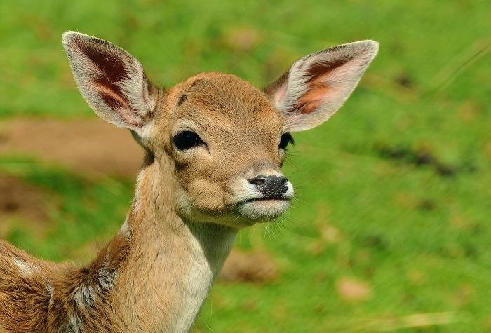 roe-deer-1586373_1280