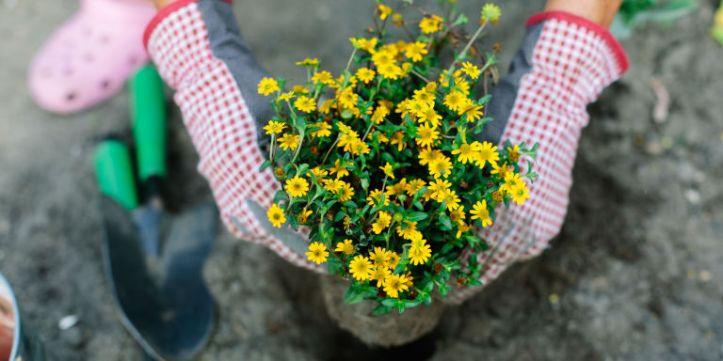Gardening planting flowers